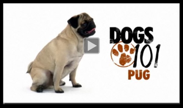 dogs101pug